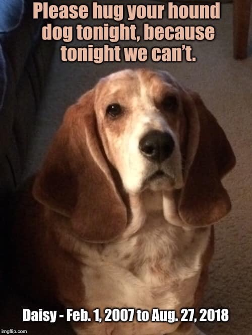 Rest In Peace Daisy Mae | . | image tagged in basset hound,good dog,gone to soon,forever in my heart,broken heart | made w/ Imgflip meme maker
