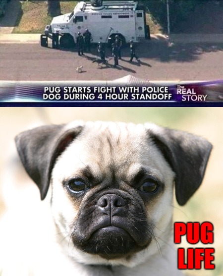 Pug life is thug life... | PUG LIFE | image tagged in pug life,memes,dogs,funny,thug life,animals | made w/ Imgflip meme maker