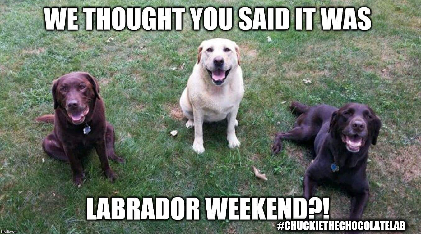 Labrador Labor Day | #CHUCKIETHECHOCOLATELAB | image tagged in labor day,weekend,labrador,chuckie the chocolate lab,dogs,funny | made w/ Imgflip meme maker