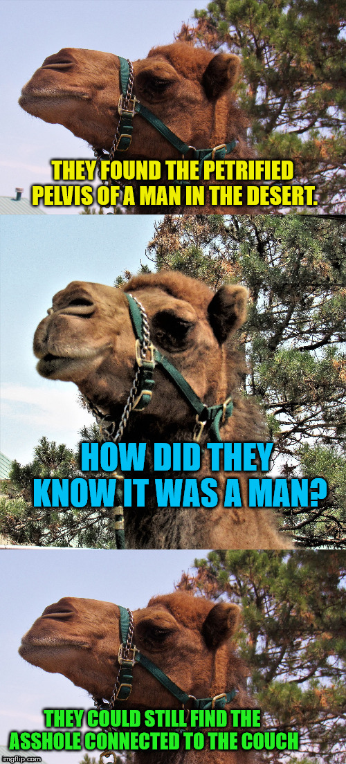 Camel man-bashing | THEY FOUND THE PETRIFIED PELVIS OF A MAN IN THE DESERT. HOW DID THEY KNOW IT WAS A MAN? THEY COULD STILL FIND THE ASSHOLE CONNECTED TO THE C | image tagged in camel joker,man,couch,asshole | made w/ Imgflip meme maker