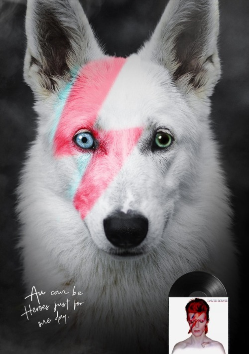 This little husky with her Ghost Eyes and face features Sweetly reminiscent of Aladdin Sane.  | . | image tagged in diamond dog,aladdin sane,david bowie,twig the wonder kid | made w/ Imgflip meme maker