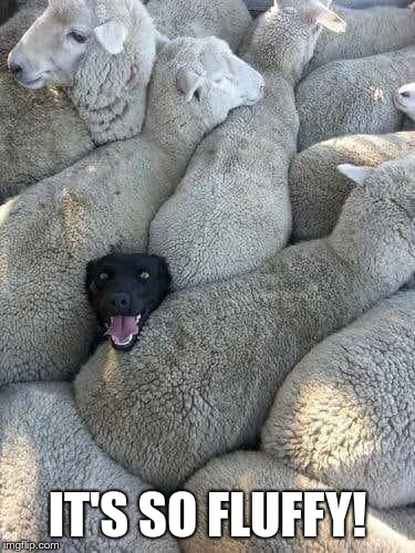 Sheep Dog | IT'S SO FLUFFY! | image tagged in sheep dog | made w/ Imgflip meme maker