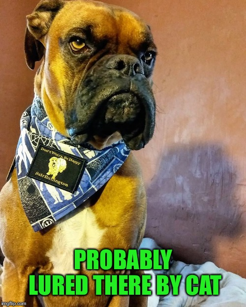 Grumpy Dog | PROBABLY LURED THERE BY CAT | image tagged in grumpy dog | made w/ Imgflip meme maker