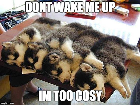 too cosy | DONT WAKE ME UP IM TOO COSY | image tagged in cosy,furry,bad pun dog,cute,husky,sleep | made w/ Imgflip meme maker