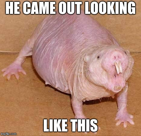 naked mole rat | HE CAME OUT LOOKING LIKE THIS | image tagged in naked mole rat | made w/ Imgflip meme maker