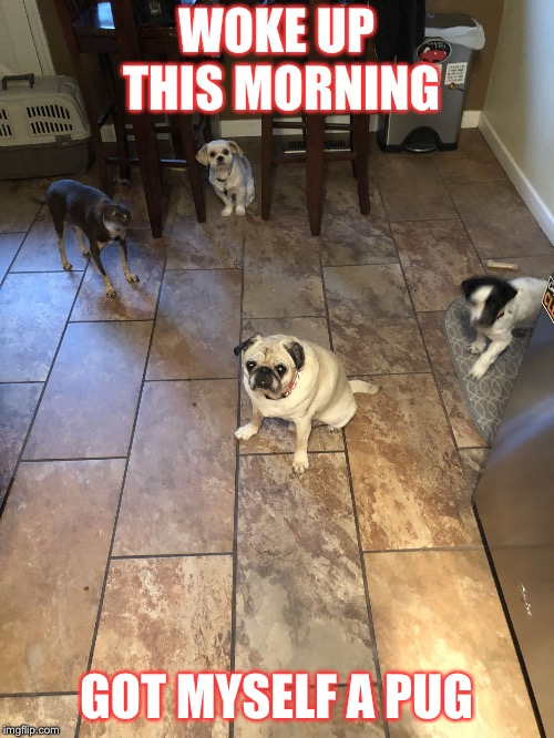 WOKE UP THIS MORNING GOT MYSELF A PUG | image tagged in maria | made w/ Imgflip meme maker