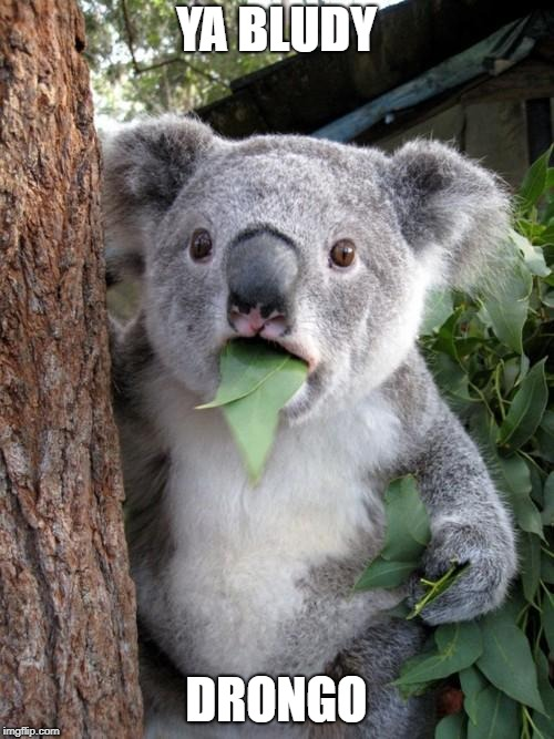 Surprised Koala Meme | YA BLUDY DRONGO | image tagged in memes,surprised koala | made w/ Imgflip meme maker