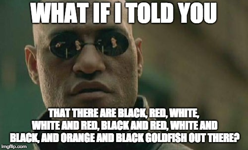 WHAT IF I TOLD YOU THAT THERE ARE BLACK, RED, WHITE, WHITE AND RED, BLACK AND RED, WHITE AND BLACK, AND ORANGE AND BLACK GOLDFISH OUT THERE? | image tagged in memes,matrix morpheus | made w/ Imgflip meme maker