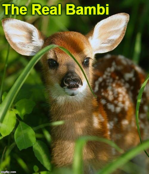 Just a Cute as the Cartoon | The Real Bambi | image tagged in vince vance,deer,doe,fawn,hunting season,bambi | made w/ Imgflip meme maker