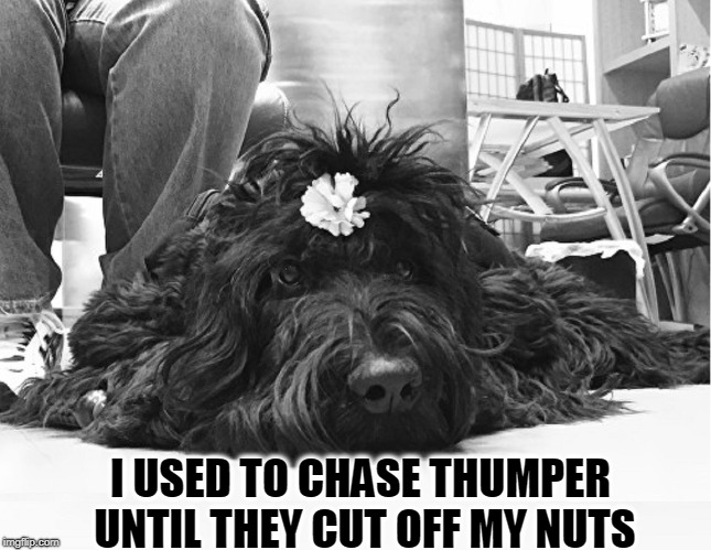 Contemplations of a Nutless Dog | I USED TO CHASE THUMPER UNTIL THEY CUT OFF MY NUTS | image tagged in vince vance,dogs,neutering,castration,feeling useless,black dog | made w/ Imgflip meme maker