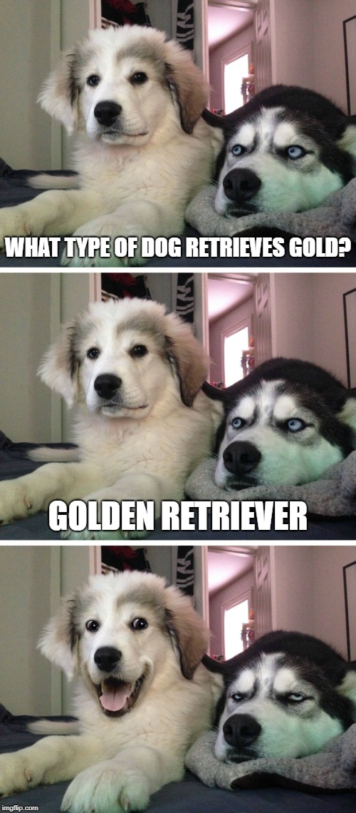 Bad pun dogs | WHAT TYPE OF DOG RETRIEVES GOLD? GOLDEN RETRIEVER | image tagged in bad pun dogs,dogs,golden retriever,gold | made w/ Imgflip meme maker