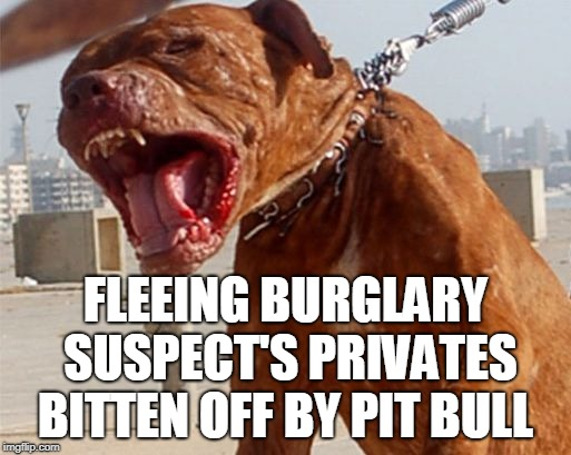 A man fleeing from police made the mistake of running into a yard patrolled by a pit bull. |  FLEEING BURGLARY SUSPECT'S PRIVATES BITTEN OFF BY PIT BULL | image tagged in pit bull,burglar,suspect,privates,dog bite,memes | made w/ Imgflip meme maker