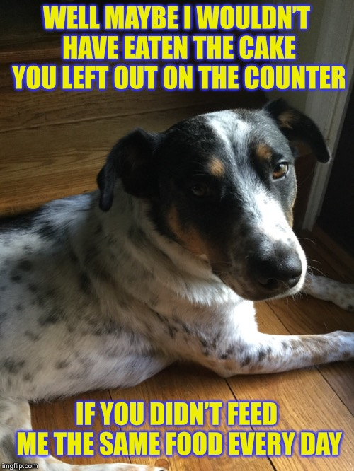 Dogs always seem so excited when the get the same food day after day after day... | WELL MAYBE I WOULDN'T HAVE EATEN THE CAKE YOU LEFT OUT ON THE COUNTER IF YOU DIDN'T FEED ME THE SAME FOOD EVERY DAY | image tagged in dogs,dog food,funny dogs,i wonder | made w/ Imgflip meme maker