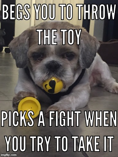 Finn the Shih Tzu | image tagged in shih tzu,fights,dog fight,begging,dog memes | made w/ Imgflip meme maker