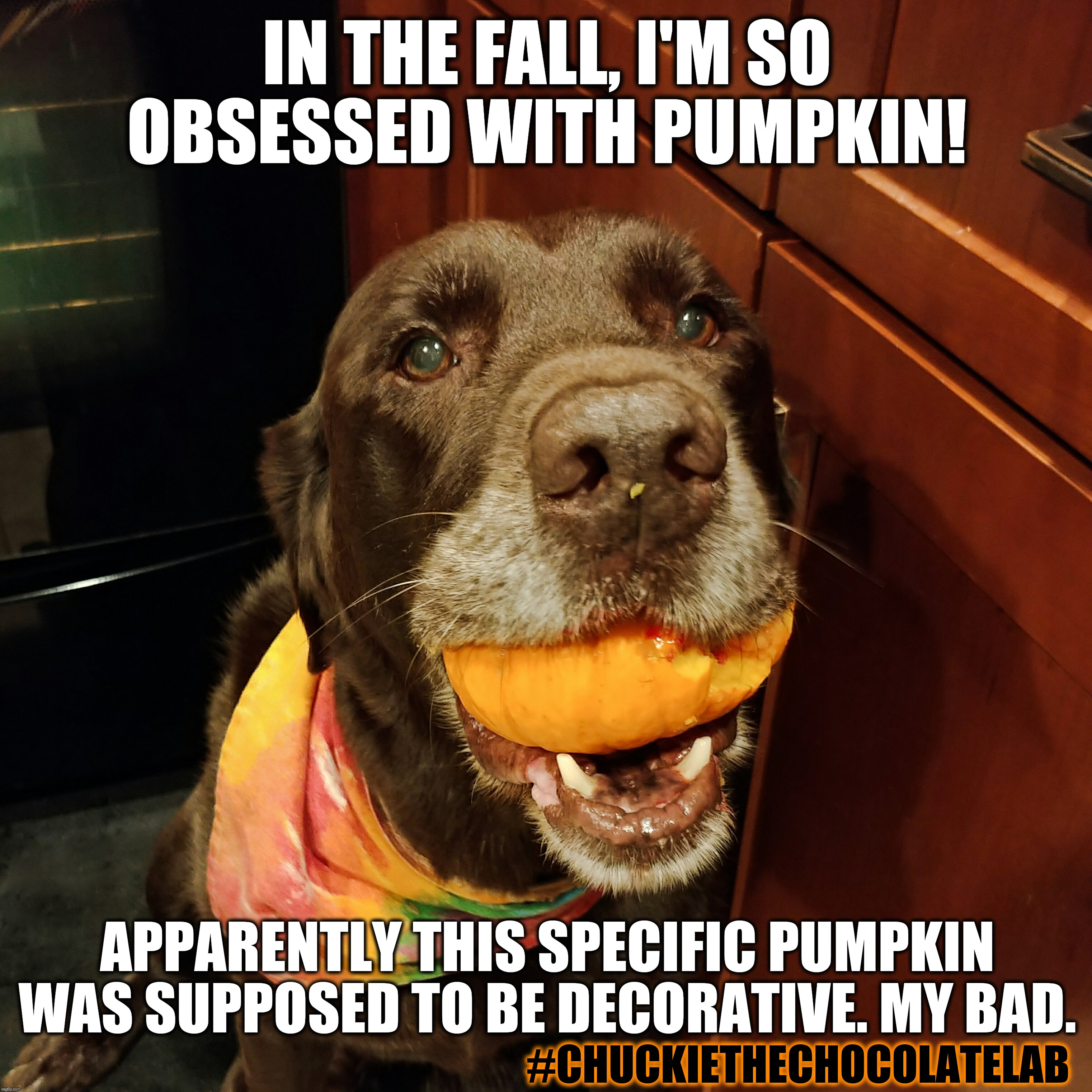 Pumpkins are delicious  | IN THE FALL, I'M SO OBSESSED WITH PUMPKIN! #CHUCKIETHECHOCOLATELAB APPARENTLY THIS SPECIFIC PUMPKIN WAS SUPPOSED TO BE DECORATIVE. MY BAD. | image tagged in chuckie the chocolate lab,pumpkin,fall,autumn,dogs,funny | made w/ Imgflip meme maker