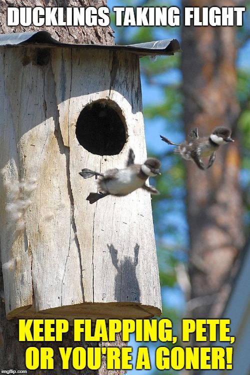 First Flight |  DUCKLINGS TAKING FLIGHT; KEEP FLAPPING, PETE,    OR YOU'RE A GONER! | image tagged in vince vance,ducks,ducklings,birds flying,bird house,birds | made w/ Imgflip meme maker