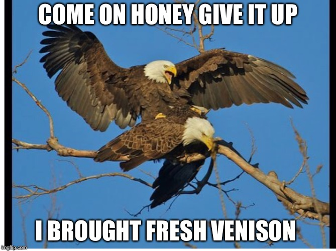 Eagles mating | COME ON HONEY GIVE IT UP I BROUGHT FRESH VENISON | image tagged in eagles mating | made w/ Imgflip meme maker