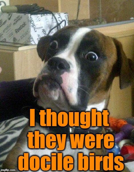 Surprised Dog | I thought they were docile birds | image tagged in surprised dog | made w/ Imgflip meme maker