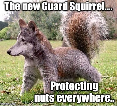 The Guard Squirrel |  The new Guard Squirrel.... Protecting nuts everywhere.. | image tagged in squirrel,nuts,guard,guardian of my yard,memes,photoshop | made w/ Imgflip meme maker