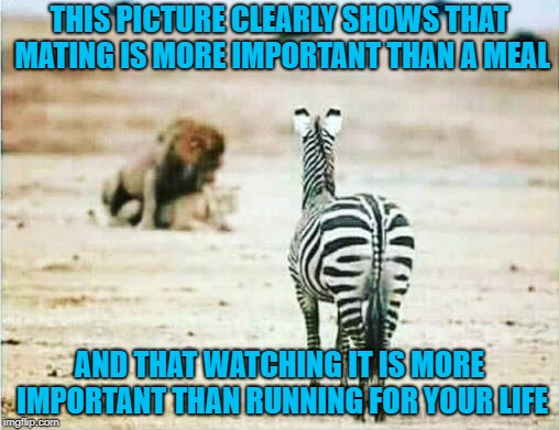 Dirty Meme Week, Sep. 24 - Sep. 30, a socrates event | THIS PICTURE CLEARLY SHOWS THAT MATING IS MORE IMPORTANT THAN A MEAL AND THAT WATCHING IT IS MORE IMPORTANT THAN RUNNING FOR YOUR LIFE | image tagged in priorities,memes,lions,funny,zebra,dirty meme week | made w/ Imgflip meme maker