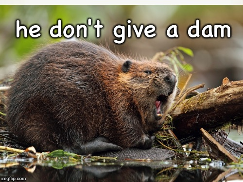I heard beaver memes were the new thing |  he don't give a dam | image tagged in memes,beavers | made w/ Imgflip meme maker