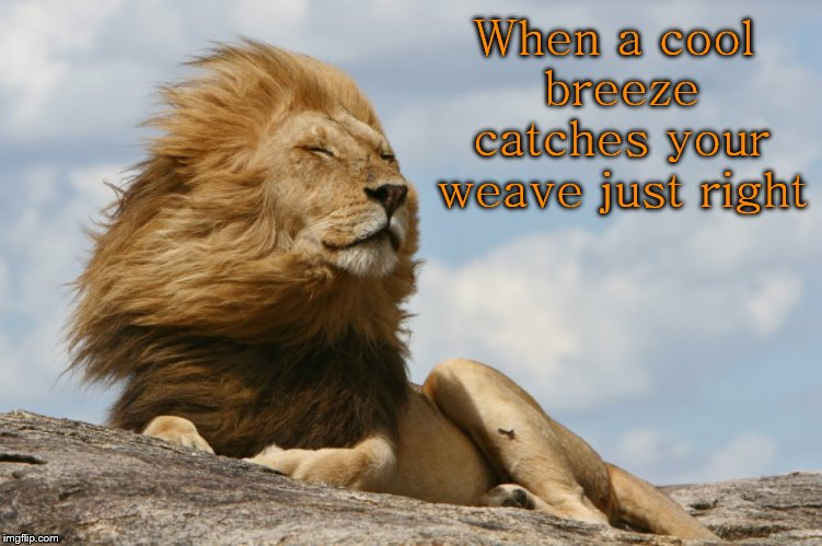 A hairhat's dream.... |  When a cool breeze catches your weave just right | image tagged in cool breeze lion,weave,hairhat,hair,wind | made w/ Imgflip meme maker