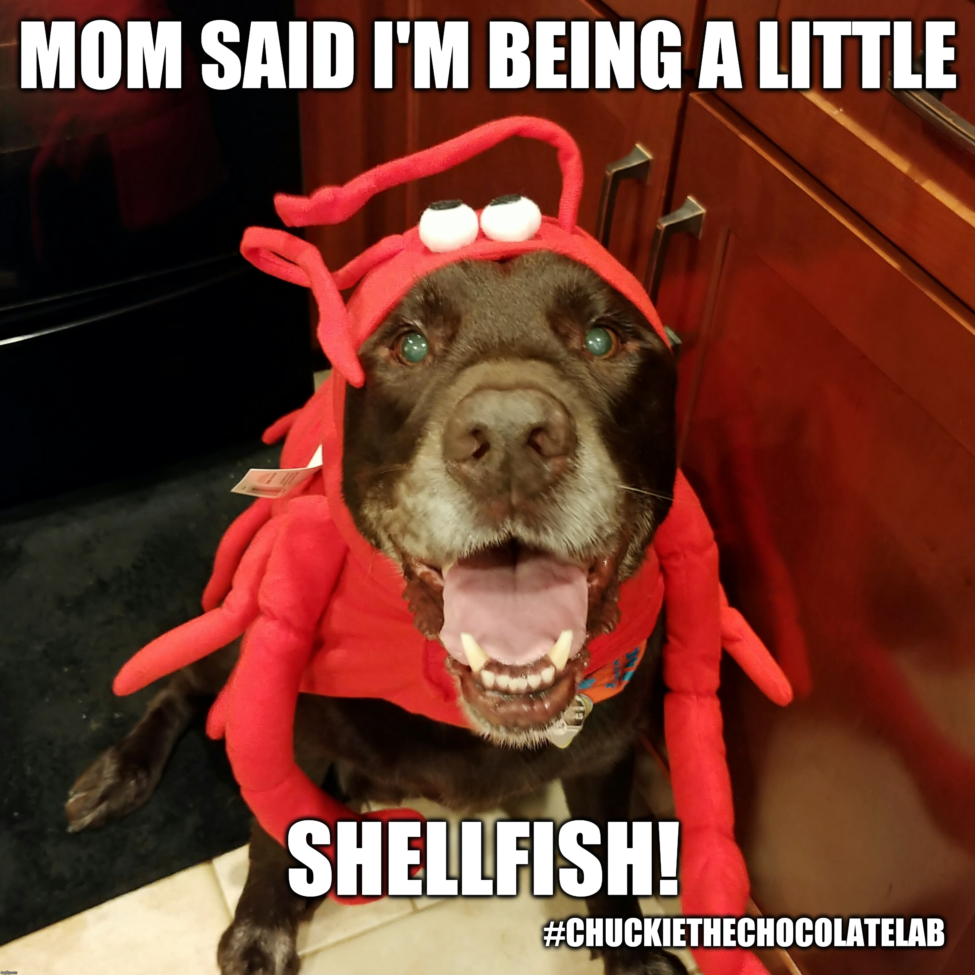 I'm being a little shellfish!  | MOM SAID I'M BEING A LITTLE SHELLFISH! #CHUCKIETHECHOCOLATELAB | image tagged in chuckie the chocolate lab,dogs,funny,memes,halloween,lobster | made w/ Imgflip meme maker