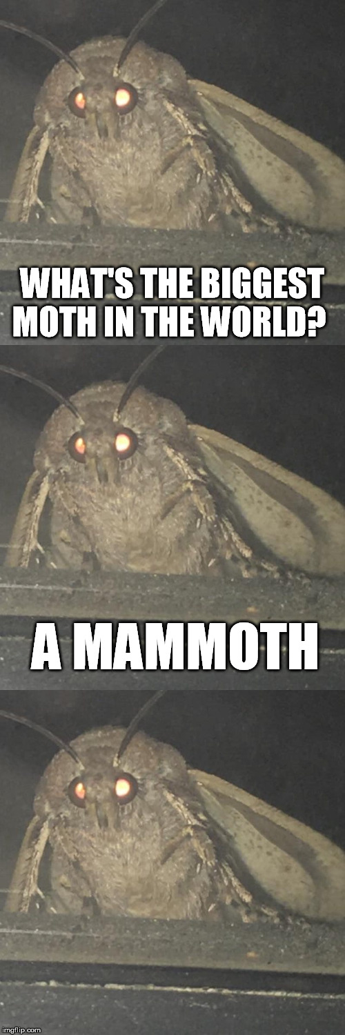 BAD PUN MOTH, Bad pun week, oct 3 to oct 10, a One_Girl_Band event | WHAT'S THE BIGGEST MOTH IN THE WORLD? A MAMMOTH | image tagged in moth,bad pun,bad pun week | made w/ Imgflip meme maker