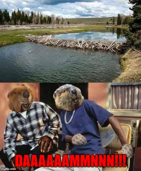Those damn beavers!!!  | DAAAAAAMMNNN!!! | image tagged in beavers,memes,daaaammnn,friday,funny,beaver dam | made w/ Imgflip meme maker