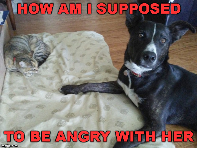 cat in dog bed | HOW AM I SUPPOSED TO BE ANGRY WITH HER | image tagged in cat in dog bed | made w/ Imgflip meme maker
