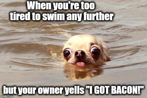"Motivation, baby! | When you're too tired to swim any further but your owner yells ""I GOT BACON!"" 