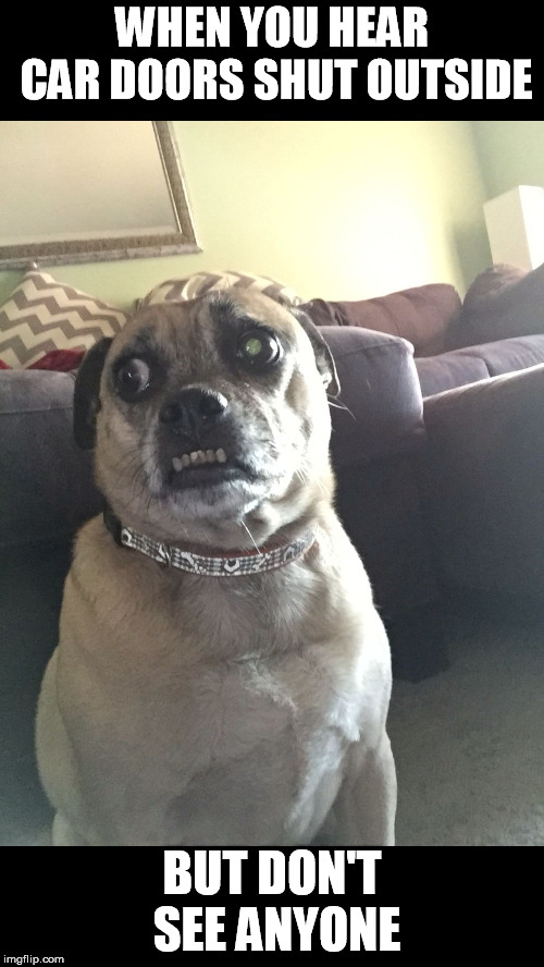 Paranoid Puggle | WHEN YOU HEAR CAR DOORS SHUT OUTSIDE BUT DON'T SEE ANYONE | image tagged in paranoid puggle | made w/ Imgflip meme maker