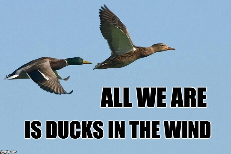 Ducks in the Wind | ALL WE ARE IS DUCKS IN THE WIND | image tagged in ducks,parody | made w/ Imgflip meme maker