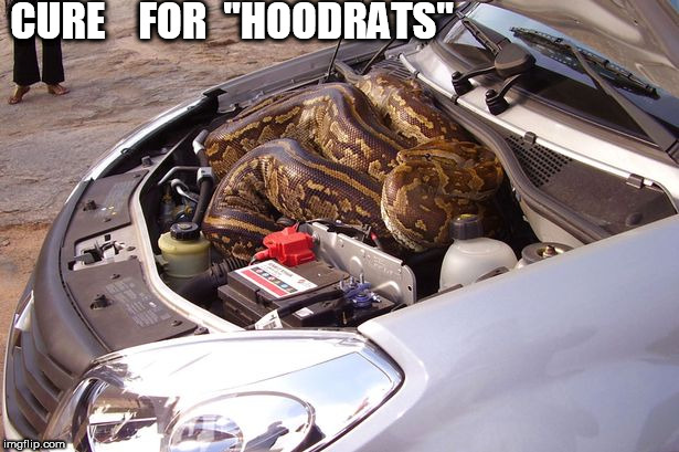 "CURE    FOR  ""HOODRATS"" 