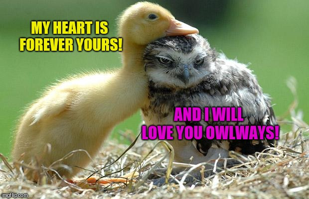 MY HEART IS FOREVER YOURS! AND I WILL LOVE YOU OWLWAYS! | image tagged in owlways,cute animals,duckling,owl | made w/ Imgflip meme maker
