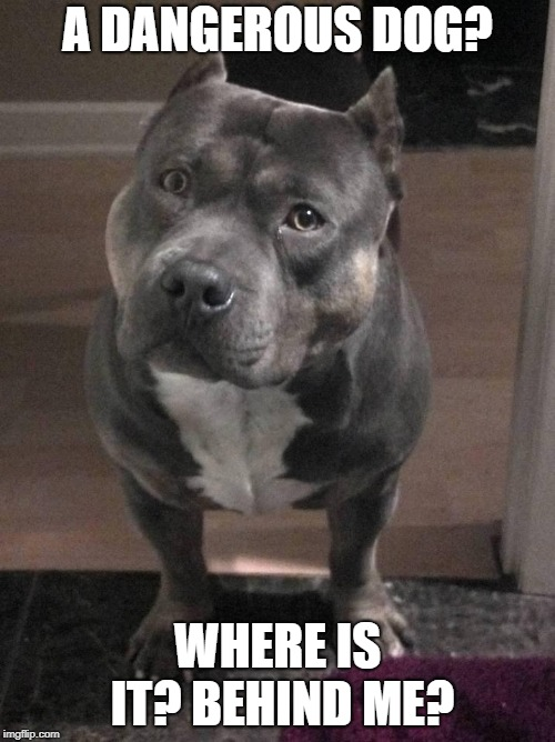 Pitbulls are so misunderstood it's not even funny | A DANGEROUS DOG? WHERE IS IT? BEHIND ME? | image tagged in memes,funny,cute,pitbulls,dogs | made w/ Imgflip meme maker