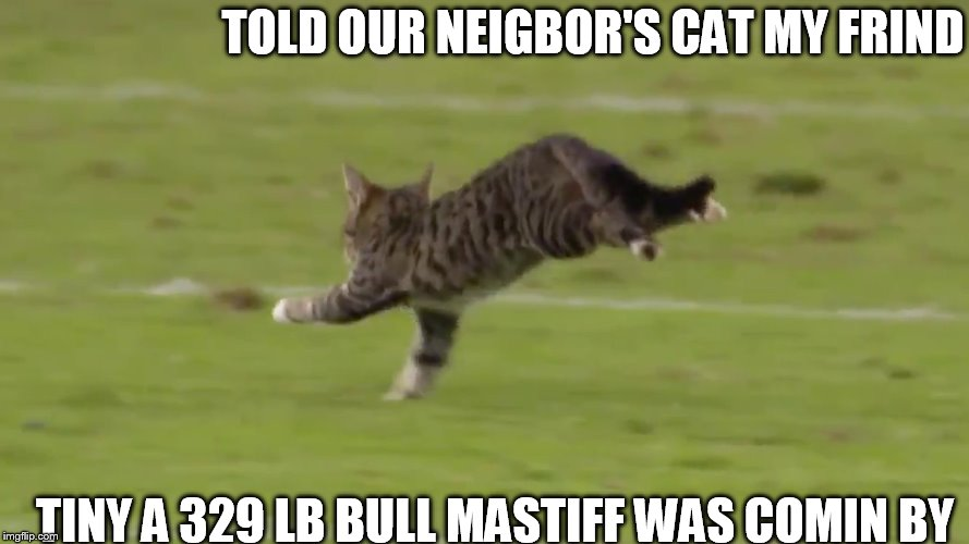 Scaredy   Cat! | TOLD OUR NEIGBOR'S CAT MY FRIND TINY A 329 LB BULL MASTIFF WAS COMIN BY | image tagged in cat,friend,my tiny | made w/ Imgflip meme maker