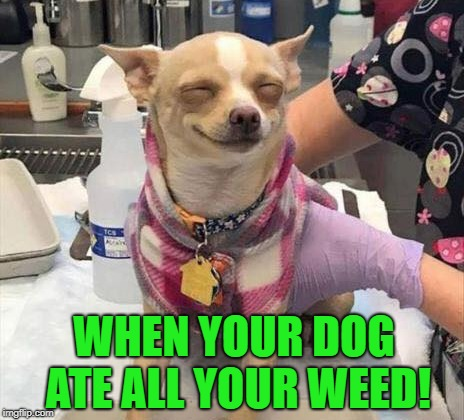 hide your weed better | WHEN YOUR DOG ATE ALL YOUR WEED! | image tagged in dog,stoned,funny | made w/ Imgflip meme maker