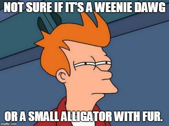 Futurama Fry Meme | NOT SURE IF IT'S A WEENIE DAWG OR A SMALL ALLIGATOR WITH FUR. | image tagged in memes,futurama fry,nixieknox | made w/ Imgflip meme maker