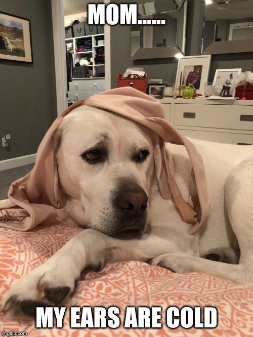 Cream Puff |  MOM...... MY EARS ARE COLD | image tagged in labs,funny memes,funny dogs | made w/ Imgflip meme maker