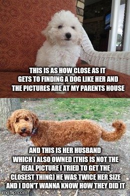 THIS IS AS HOW CLOSE AS IT GETS TO FINDING A DOG LIKE HER AND THE PICTURES ARE AT MY PARENTS HOUSE AND THIS IS HER HUSBAND WHICH I ALSO OWNE | made w/ Imgflip meme maker