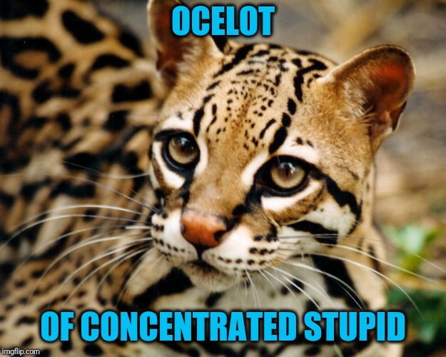 Obvious Ocelot | OCELOT OF CONCENTRATED STUPID | image tagged in obvious ocelot | made w/ Imgflip meme maker