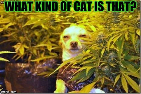 High dog | WHAT KIND OF CAT IS THAT? | image tagged in high dog | made w/ Imgflip meme maker