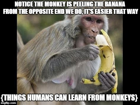 Monkeying up the memes |  NOTICE THE MONKEY IS PEELING THE BANANA FROM THE OPPOSITE END WE DO, IT'S EASIER THAT WAY; {THINGS HUMANS CAN LEARN FROM MONKEYS} | image tagged in monkeys,bananas | made w/ Imgflip meme maker