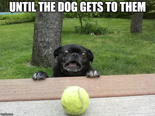 Pug Tennis Ball | UNTIL THE DOG GETS TO THEM | image tagged in pug tennis ball | made w/ Imgflip meme maker