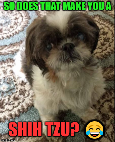 No Shih Tzu | SO DOES THAT MAKE YOU A SHIH TZU?  | image tagged in no shih tzu | made w/ Imgflip meme maker