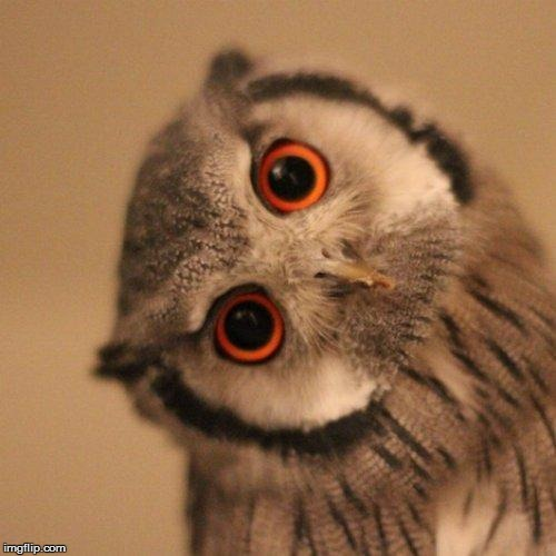 inquisitve owl | image tagged in inquisitve owl | made w/ Imgflip meme maker