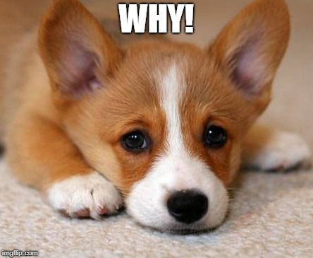 sad corgi puppy | WHY! | image tagged in sad corgi puppy | made w/ Imgflip meme maker