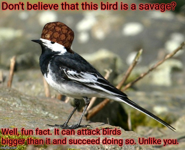 Don't believe that this bird is a savage? Well, fun fact. It can attack birds bigger than it and succeed doing so. Unlike you. | image tagged in savage pied wagtail,scumbag | made w/ Imgflip meme maker