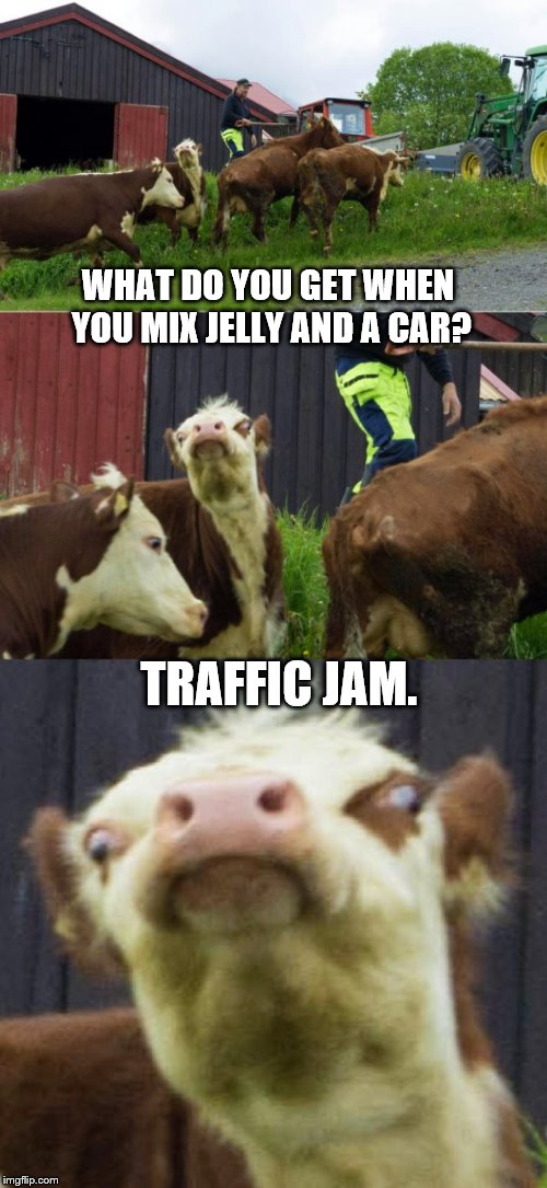 Bad pun cow  | WHAT DO YOU GET WHEN YOU MIX JELLY AND A CAR? TRAFFIC JAM. | image tagged in bad pun cow | made w/ Imgflip meme maker